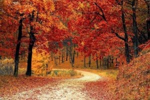 Leaves fall from vibrantly colored trees along a trail in the woods.  Photo by: Pixabay, Autumn Landscape
